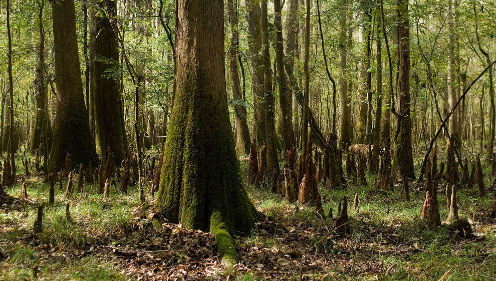 Congaree Nemzeti Park    Dél-Carolina