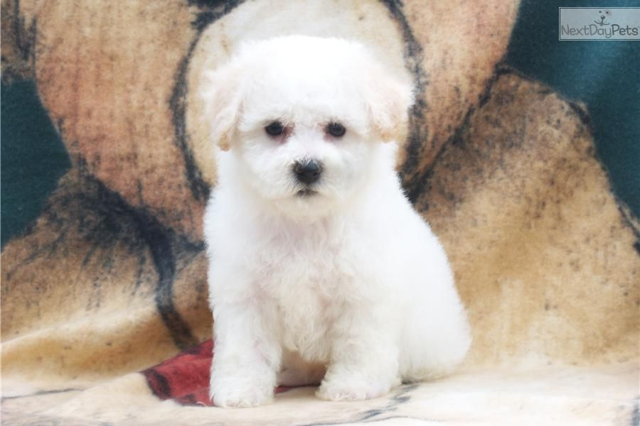Meet Sno Bella A Cute Bichon Frise Puppy For Sale For 2 000 Gorgeous Akc Bichon Snow Teddy Bear Angels Puppies Bichon Frise Bichon
