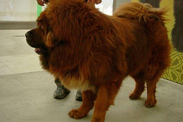 CNBC_expensive_animals_to_purchase_mastiff.jpg (JPEG Image