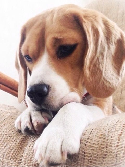And Here A Contemplative Little Beagie Cute Dogs Beagle Puppy
