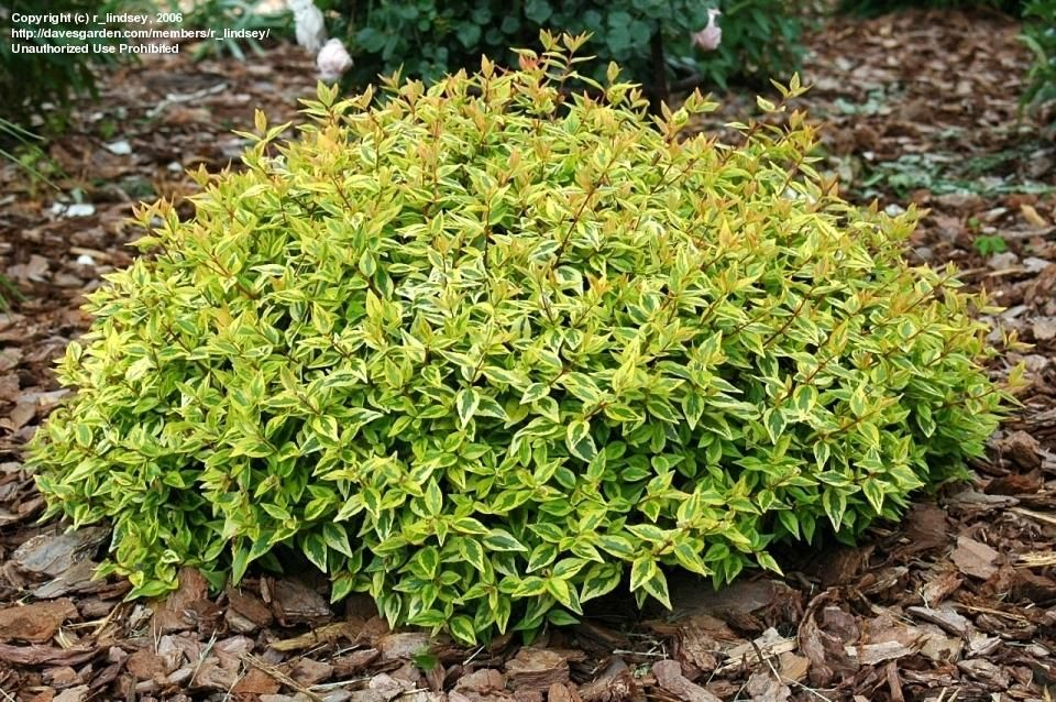 Abelia 39 kaleidoscope 39 abelia x grandiflora plants for Flowering landscape plants