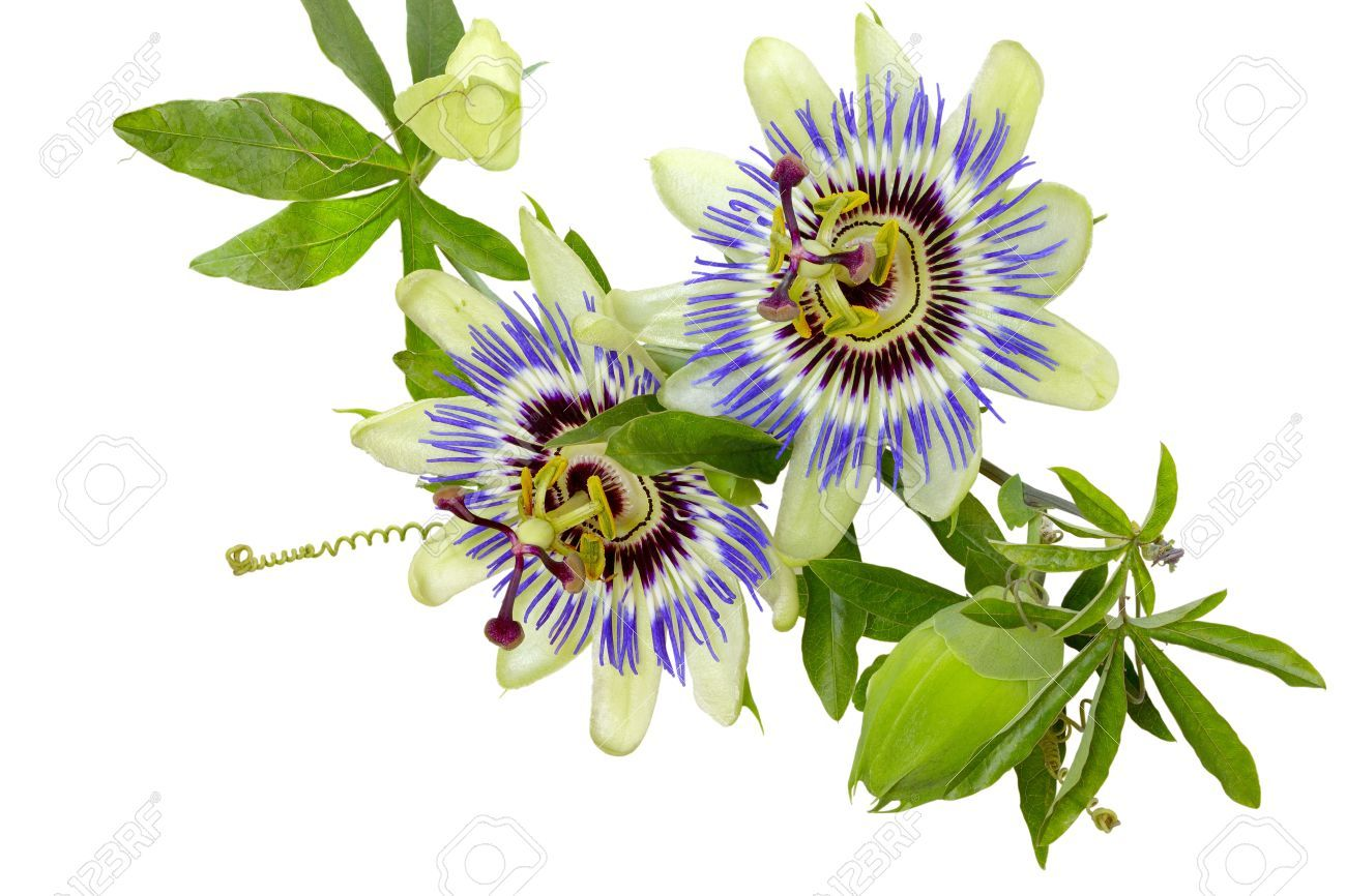 Passion Flower Passiflora Isolated On White Background Isolated Passion Flower Flower Art Flowers