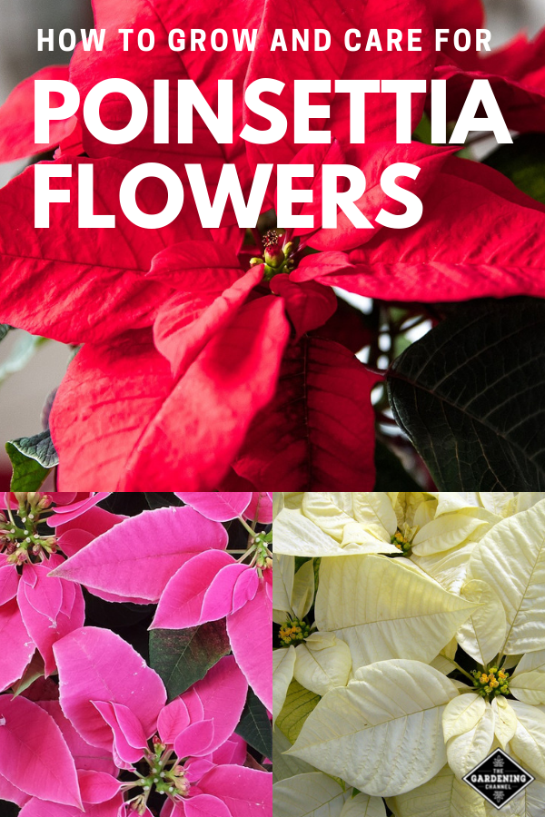 How To Care For Poinsettia Flowers With Images Flower Garden Poinsettia Poinsettia Flower