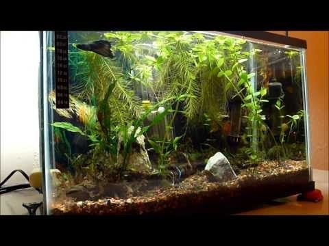 Pin By Randolph Hernandez On Fish And Aquascaping Betta Tank Betta Live Plants