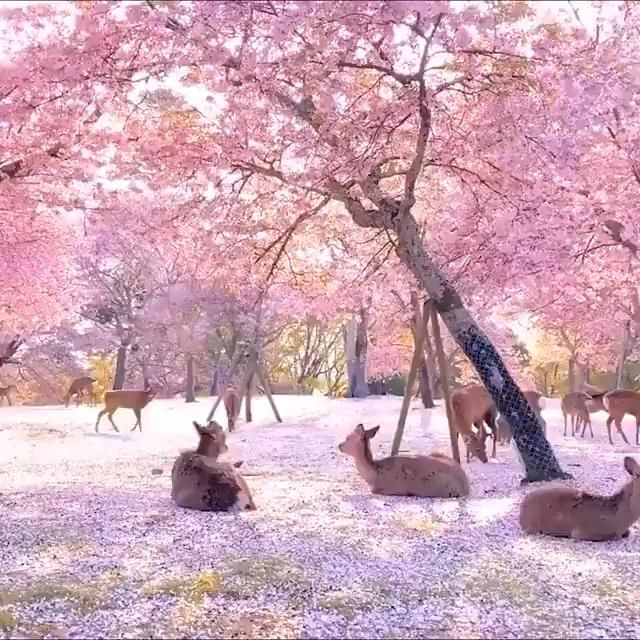 Deer Relaxing By Cherry Blossom Trees In Nara Park Japan Video Nature Photography Cherry Blossom Japan Blossom Trees