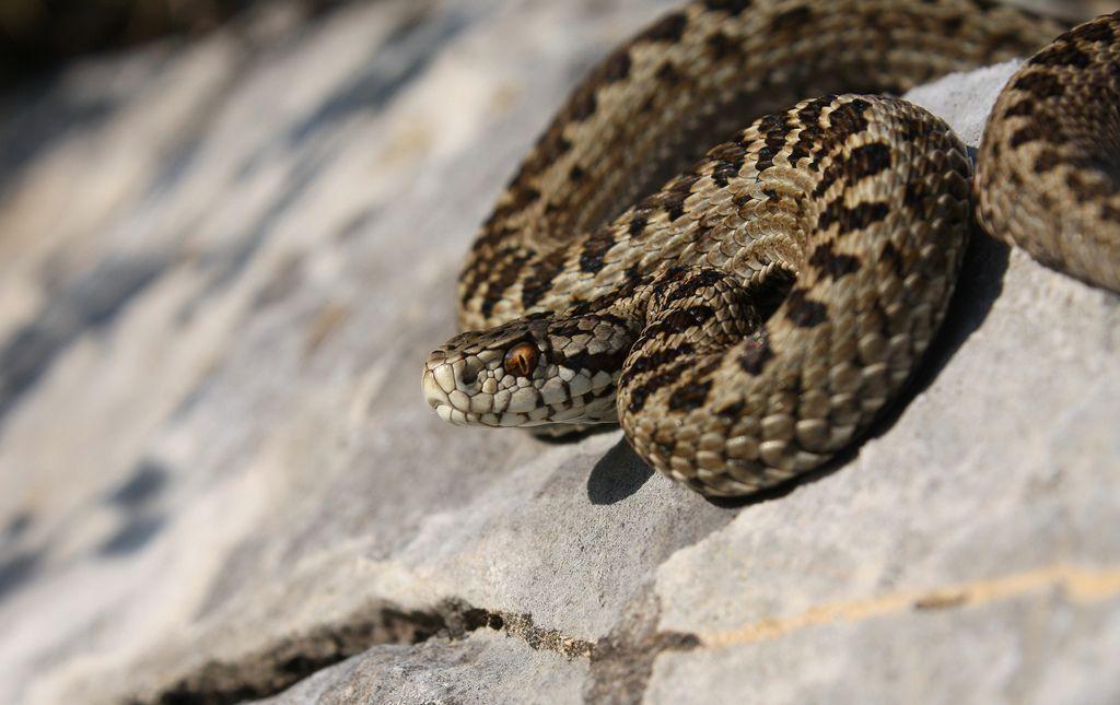 Vipera ursinii macrops | ANIMAL ~~ REPTILES | Reptiles