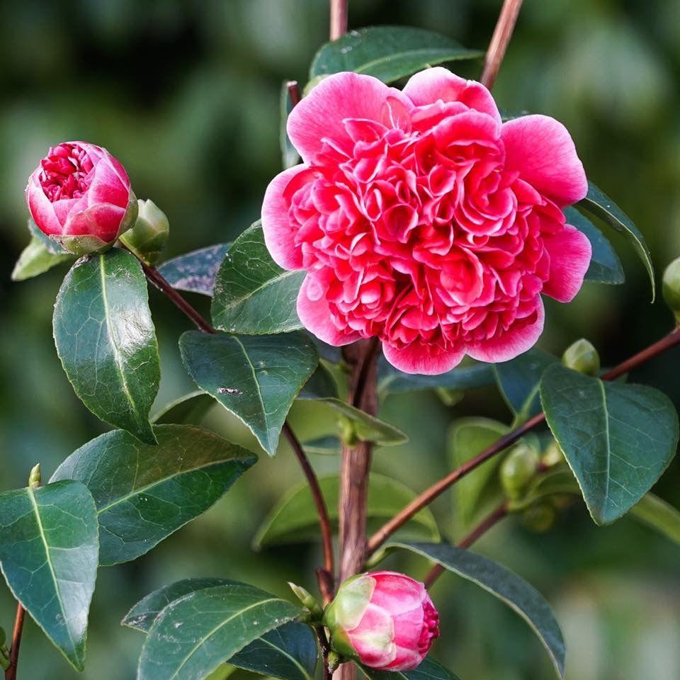 Camellia Japonica Volunteer In 2020 Plants Flowers Rose