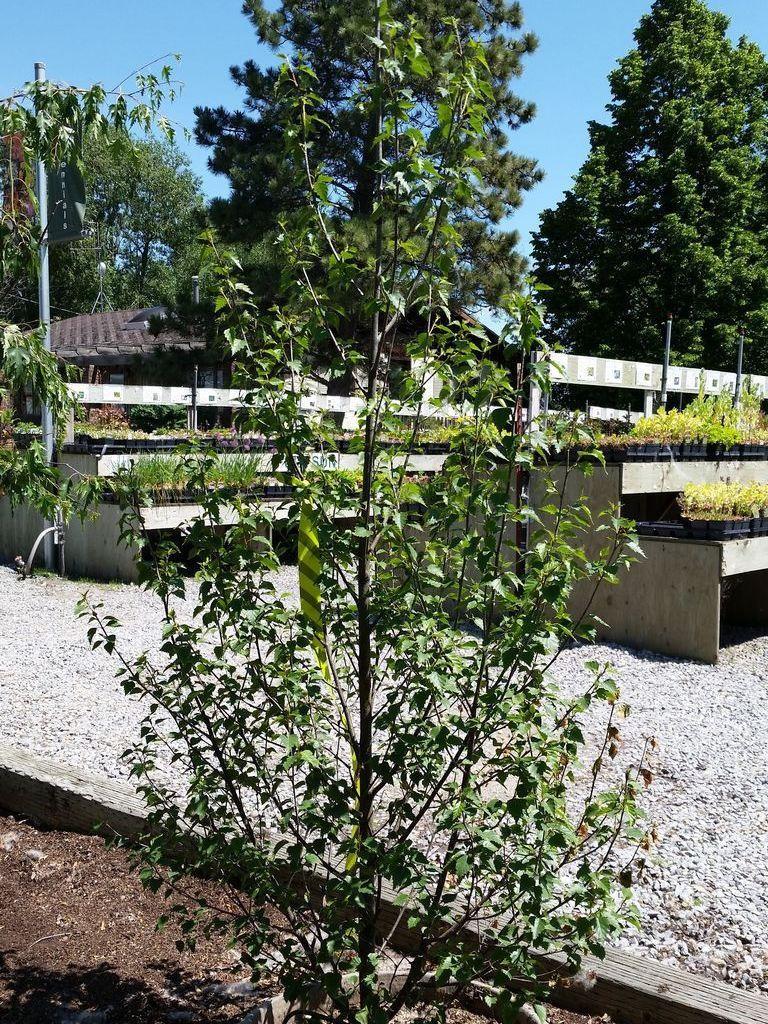 Betula Dakota Pinnacle Birch Garden plants for sale