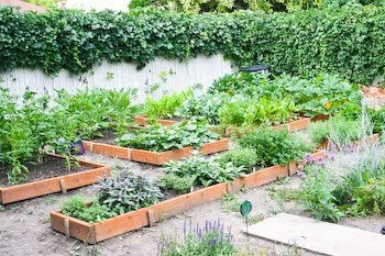 Kalyn's Kitchen®: The Garden Becomes a Source of Local Eating: 2008 Garden Update #8