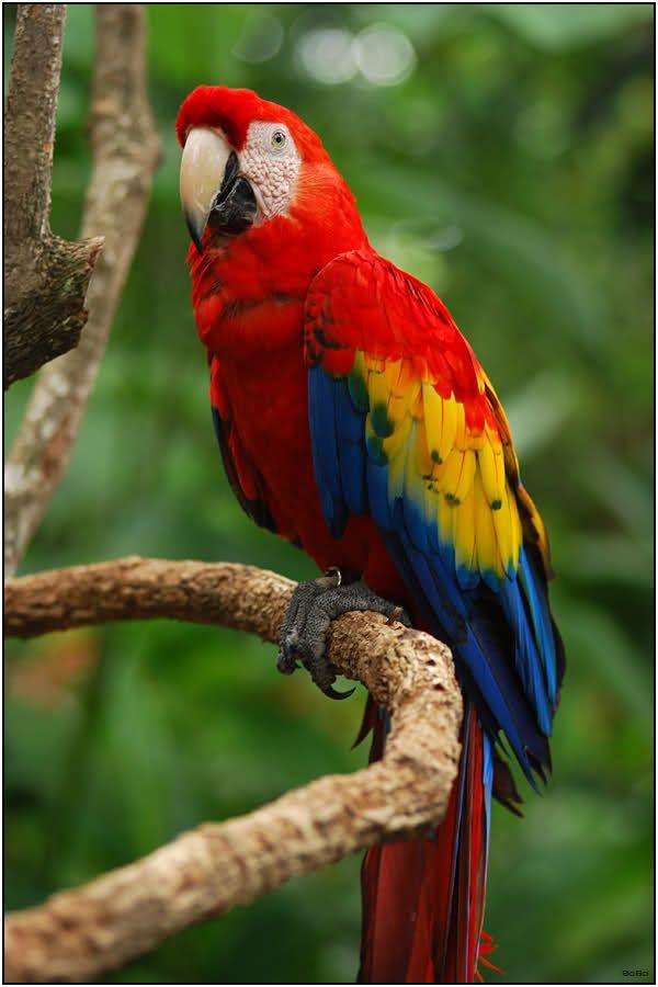 Geelvleugel Ara (Ara Macao) | Huisdier vogel, Schattige babydieren, Wilde  vogels