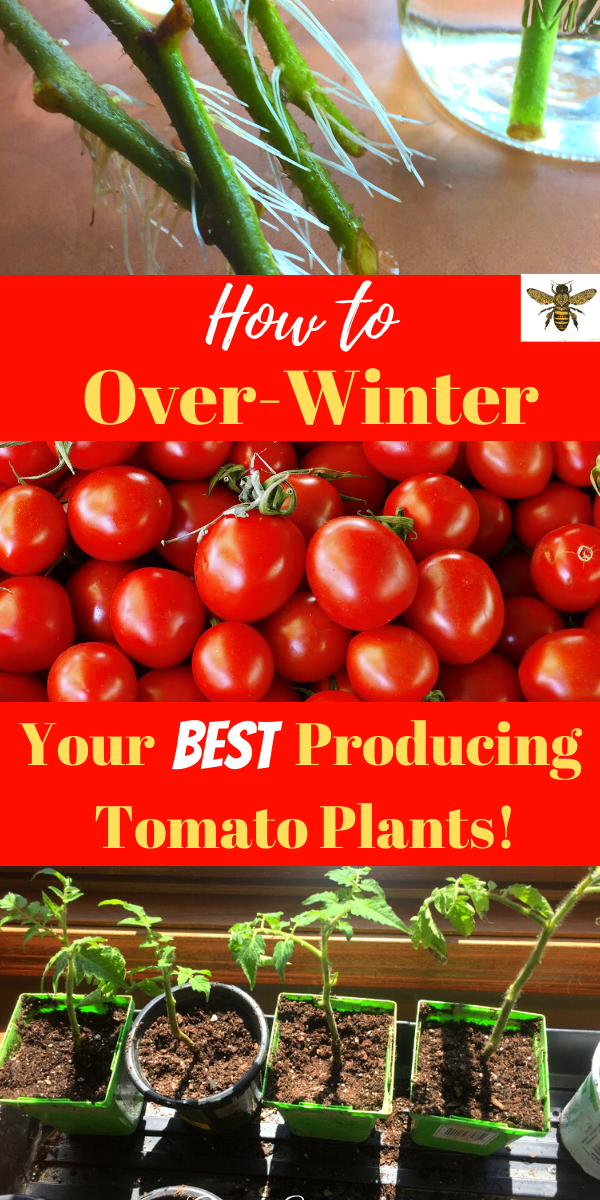 How To Overwinter Any Tomato Plant Gently Sustainable In 2020 Tomato Seeds Tomato Plants Tomato