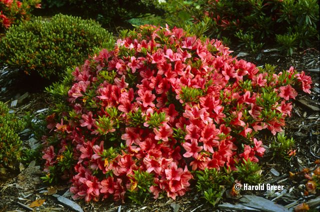 Flame Creeper Azalea Stays Low To The Ground And Spreads Wide Let S Say 2 H X 5 W Evergreen Blooms Late Azaleas Ground Cover Plants Backyard Plants