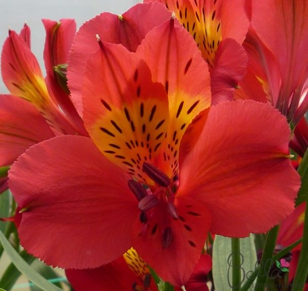 Wedding Flowers By Price: Pink Rosita Peruvian Lilies Flowers For Your Wedding