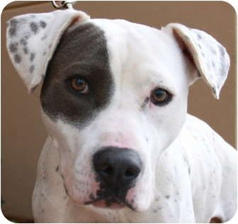 Adopt A Pet Photo 1 Roxy Tucker Ga American Bulldog Pointer Mix American Bulldog Pets Pet Adoption