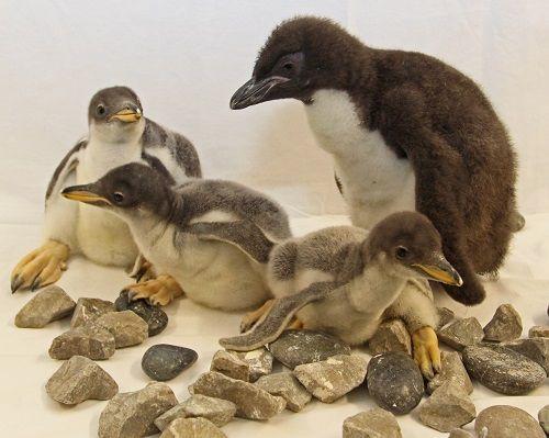 Trio of New Baby Gentoo Penguins at the Tennessee Aquarium   Tennessee Aquarium
