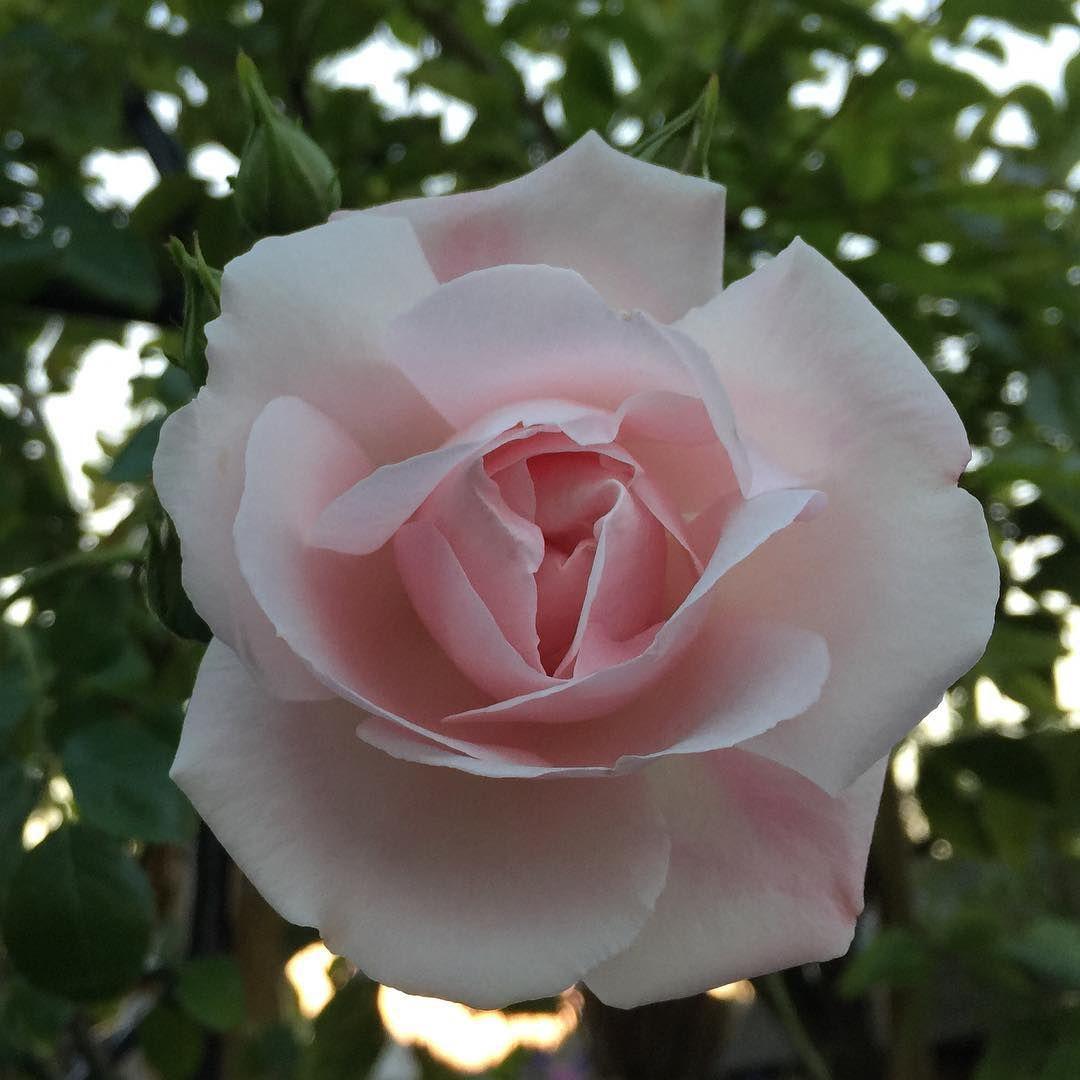 Good Night Beautiful Moment Holland Flowers Tullips Roses