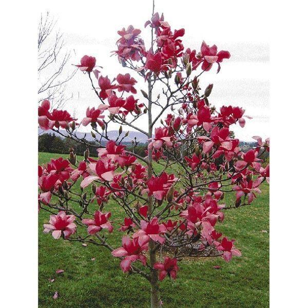 Red Magnolia 5 Seeds Magnolia Tree Types Red Magnolia Flowering Trees