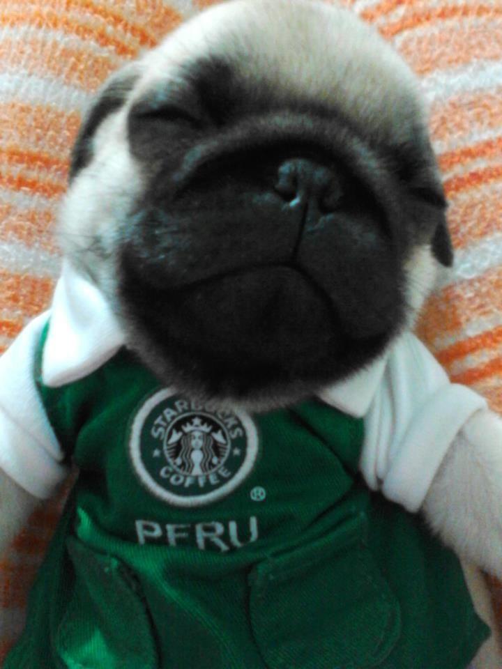 My Baby Pug Loves Starbucks D Baby Pugs I Love Coffee Starbucks
