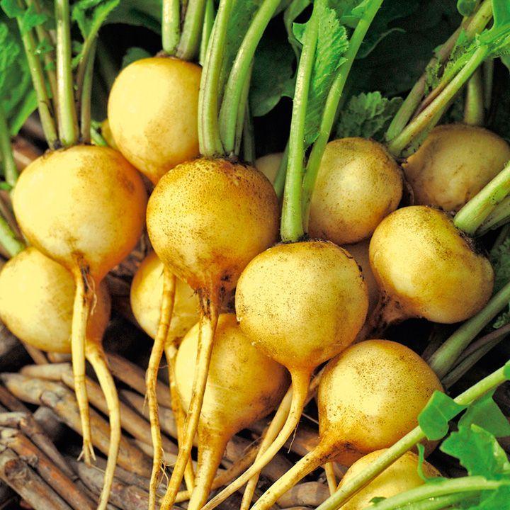 Zlata Radish A Native Of Eastern Europe Zlata Means Gold In