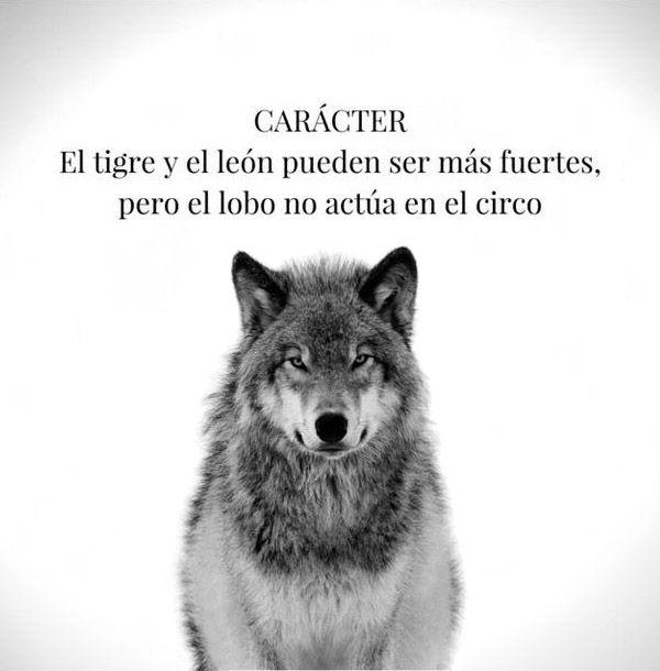 El tigre y el león pueden ser los más fuertes, pero el lobo no ...