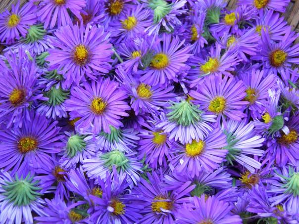 Breathing Easy Much Faster With New England Aster Herbal Plants Aster New England