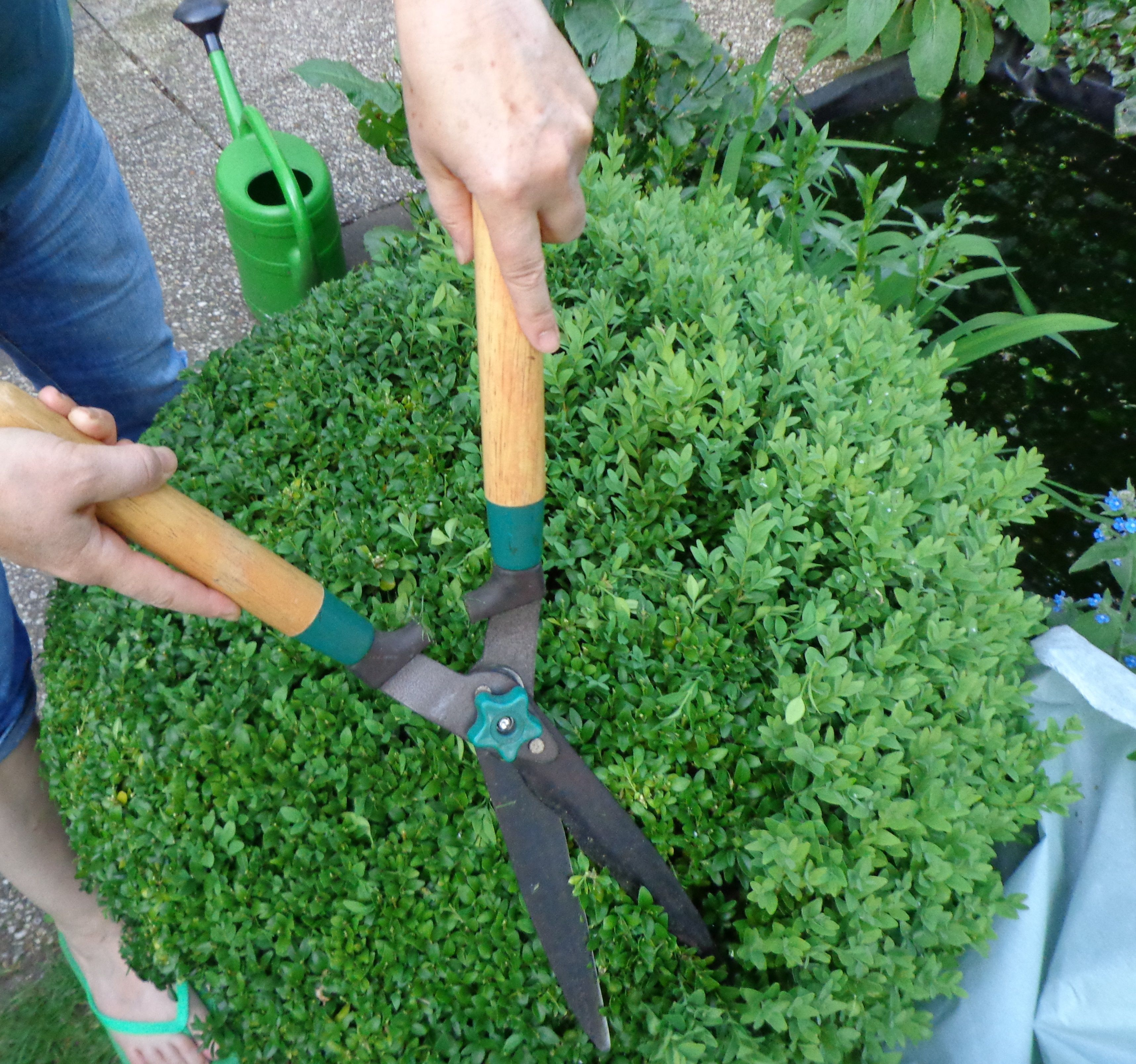 Time To Prune The Boxwood (Buxus Sempervirens
