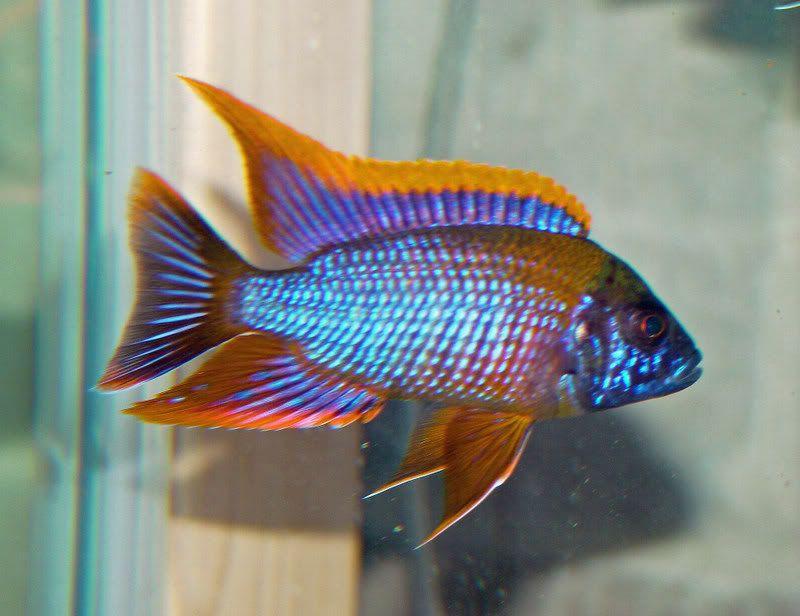 Aulonocara Red Top Aulonocara Sp Lwanda Tropical Fish Site Cichlid Fish Fish African Cichlid Aquarium