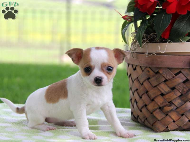 Mitzie Sue, Chihuahua puppy for sale in Paradise, Pa (With