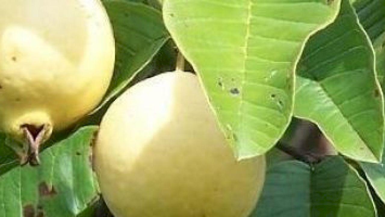 فوائد فاكهة الجوافة In 2020 Guava Fruit Guava Benefits Guava