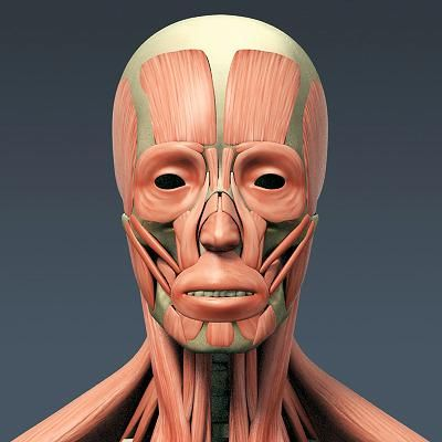 Gnomonology skull and facial muscles