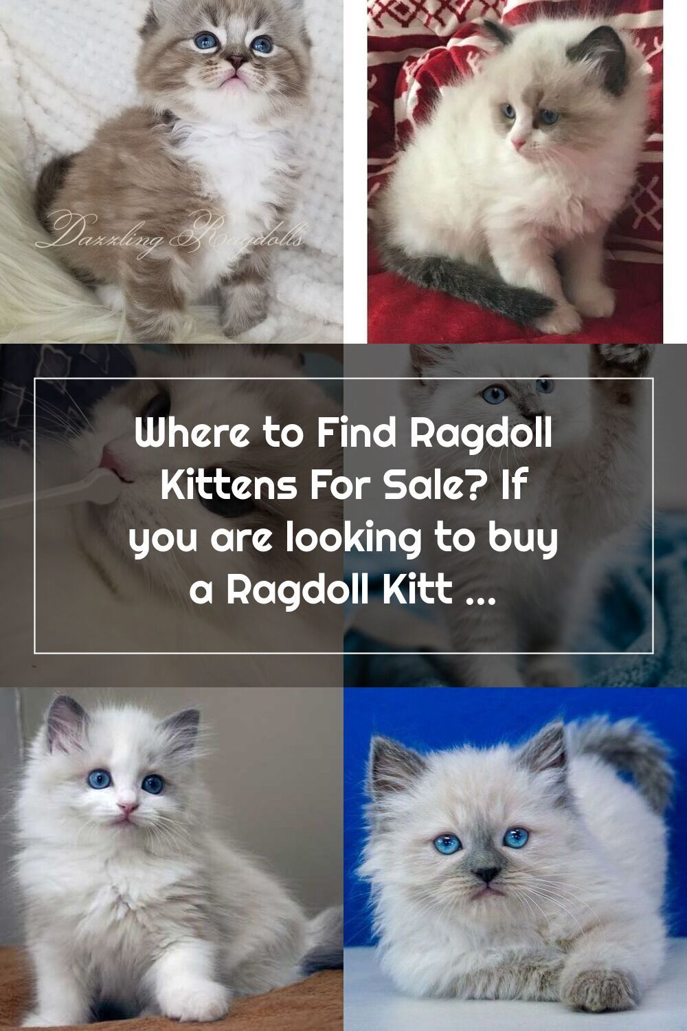 Where To Find Ragdoll Kittens For Sale In 2020 Ragdoll Kitten Kittens Cutest Ragdoll Kittens For Sale