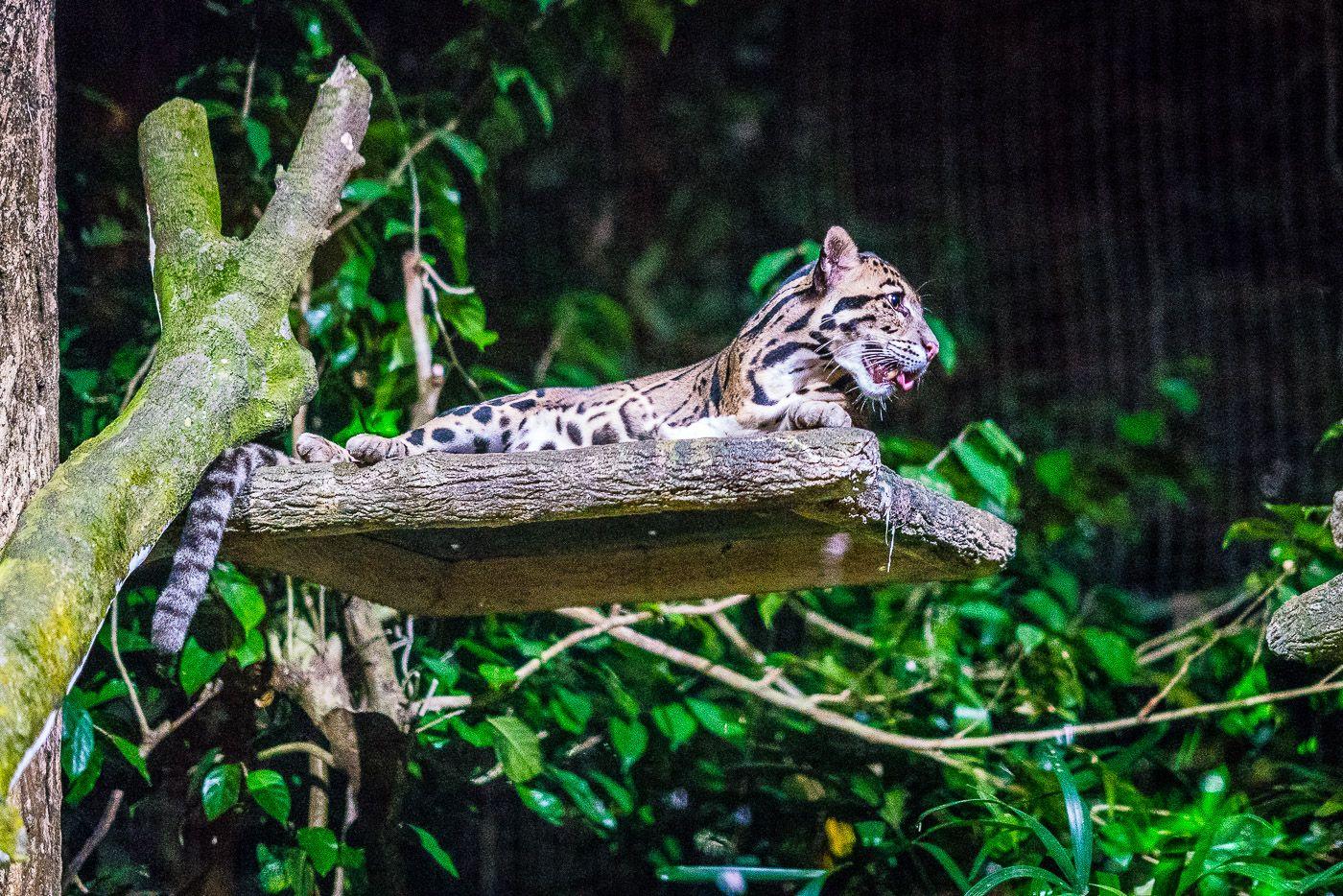 Singapore Night Safari Good Idea Singapore Zoo Safari Singapore