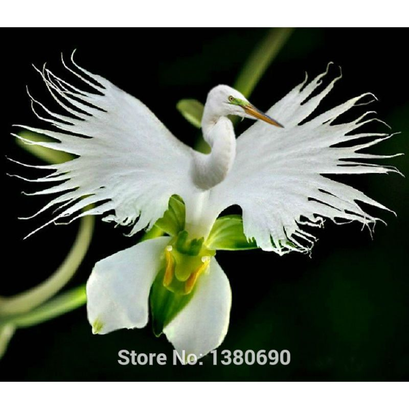 Japanese radiata seeds white egret orchid seeds world 39 s for Rare bonsai species