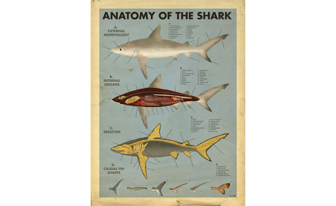 Max Dalton | Anatomy of the shark | Haggini | Pinterest | Anatomy ...
