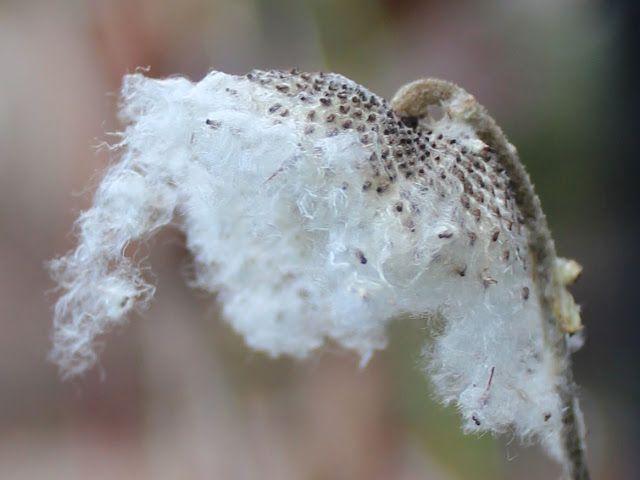 Planter i Signes Vals: Høstanemoner