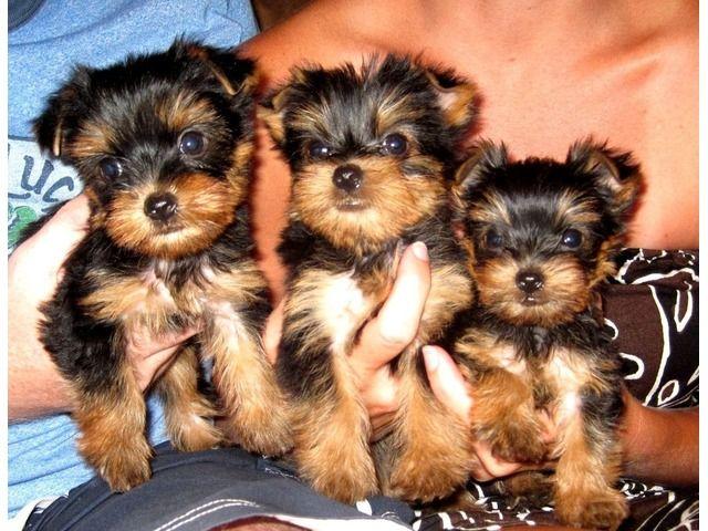 Yorkie Puppies Ready For Adoption Animals Birmingham Alabama