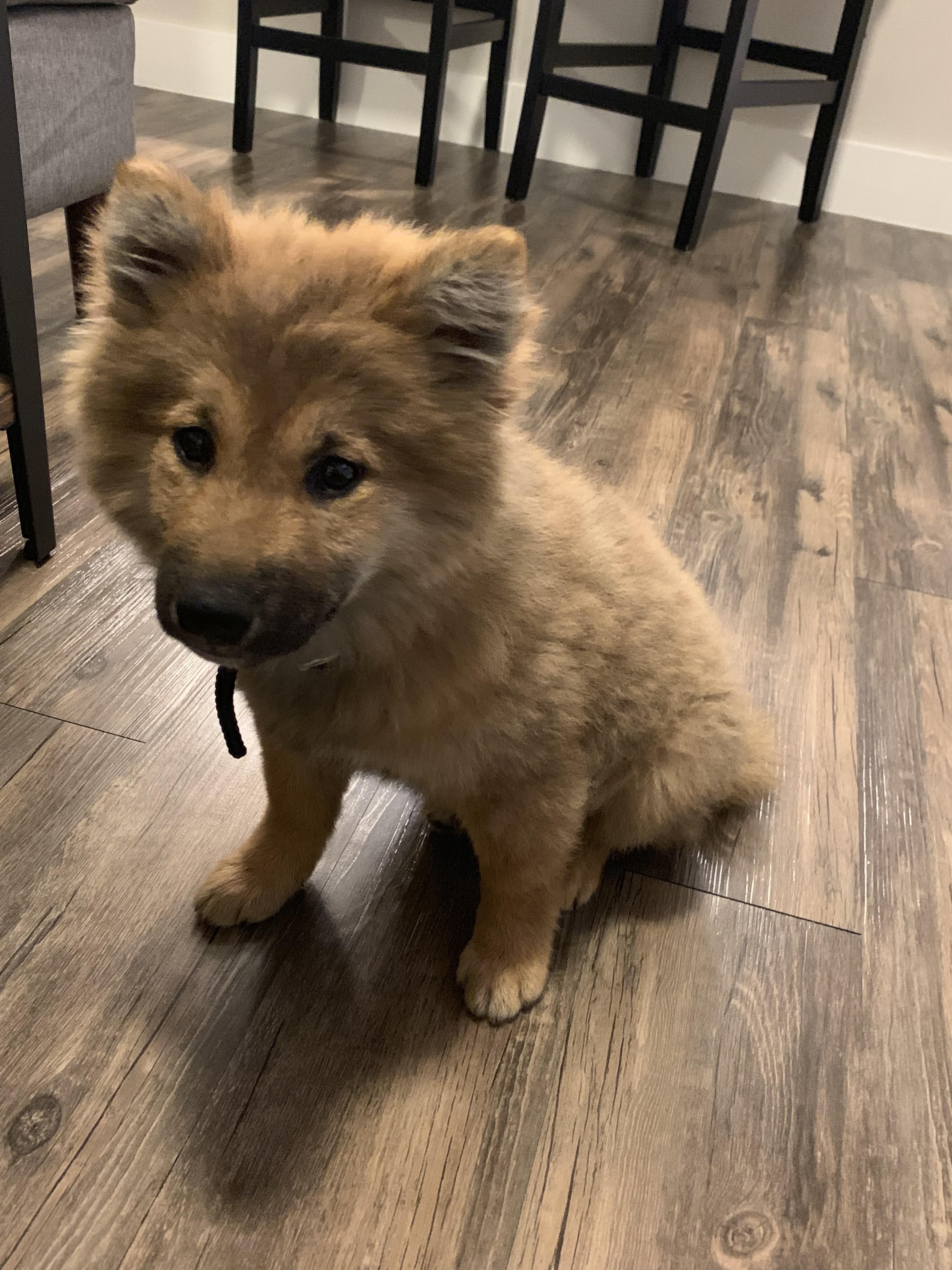 Reddit Meet My Long Hair Shiba Jiro Shibainu Shibainupuppies Dogs Animals Shiba Inu Puppy