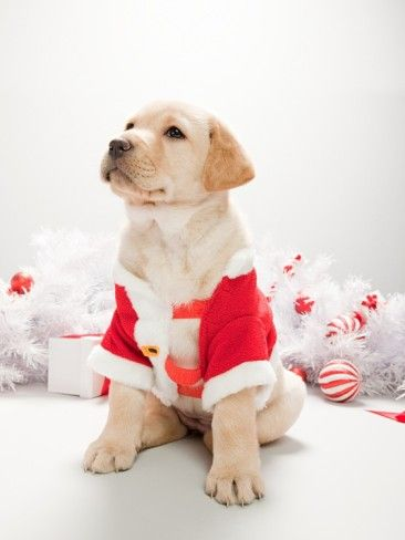 Labrador Puppy In Christmas Costume Photographic Print Christmas