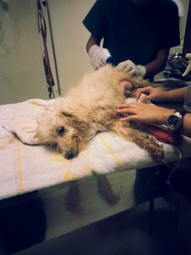 14 Oct 2013 - Zuzie gets hospitalized at almost midnight :(
