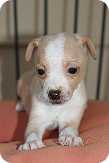 Holly Springs Nc Chihuahua Jack Russell Terrier Mix Meet Clyde