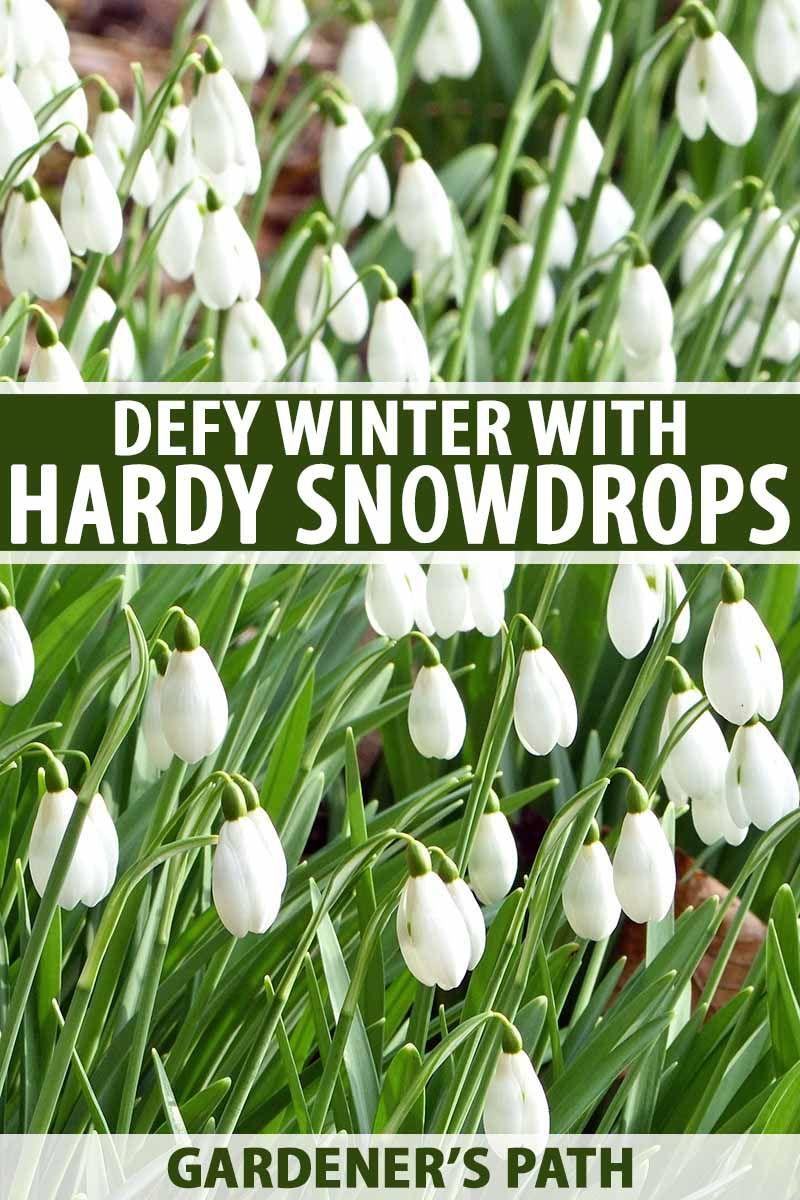 How To Grow Snowdrop Flowers Galanthus Gardener S Path Spring Garden Flowers Plants Flower Landscape