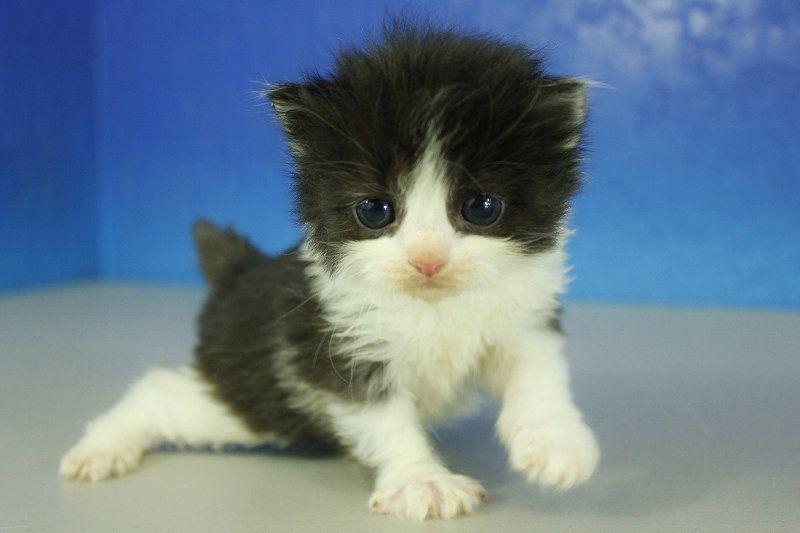 Heath Black Bicolor Solid Male Ragamuffin Kitten