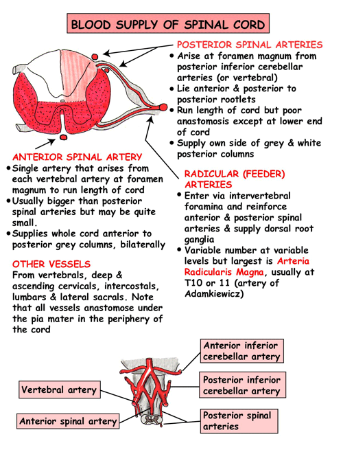 Arterial supply if spinal cord | anatomy of nervous sys | Pinterest ...
