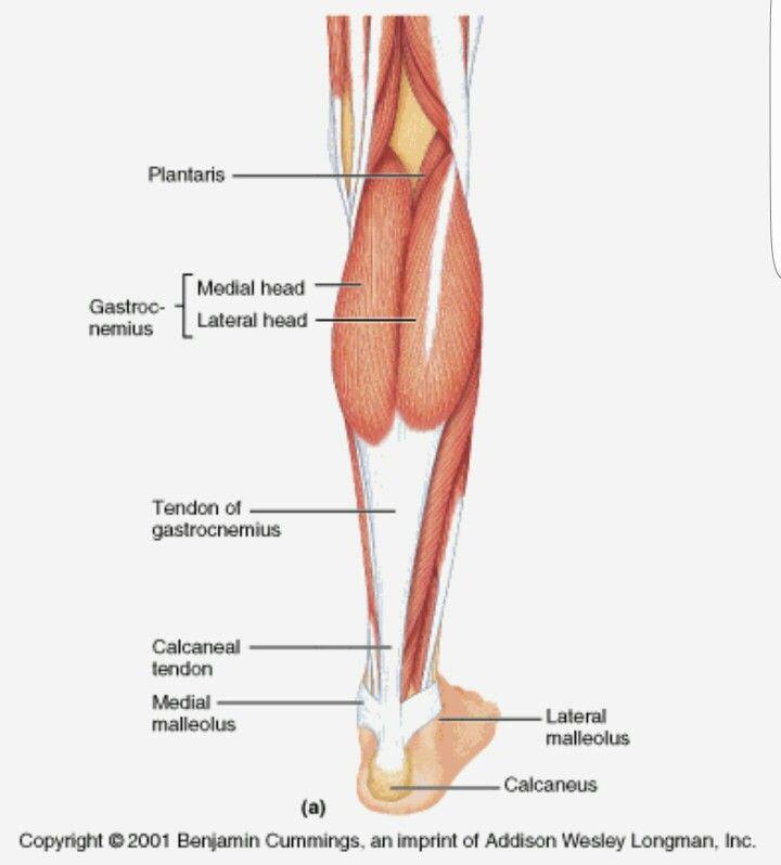 M. Triceps Surae #soleus #gastrocnemius | Anatomie | Pinterest