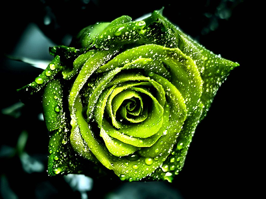 the meanong of green | Rose colour meanings green - Rose Beautiful ...