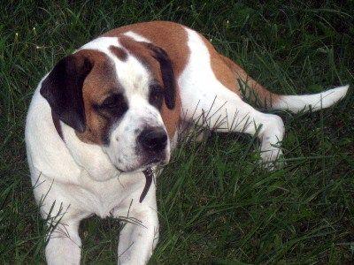 Saint Bernard Bulldog Mix Same As My Neighbor S I Adore Him And