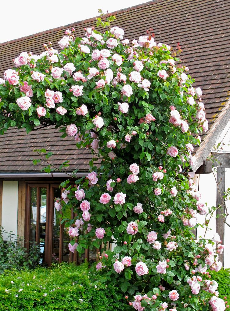 все вьющиеся розы картинки это цветник