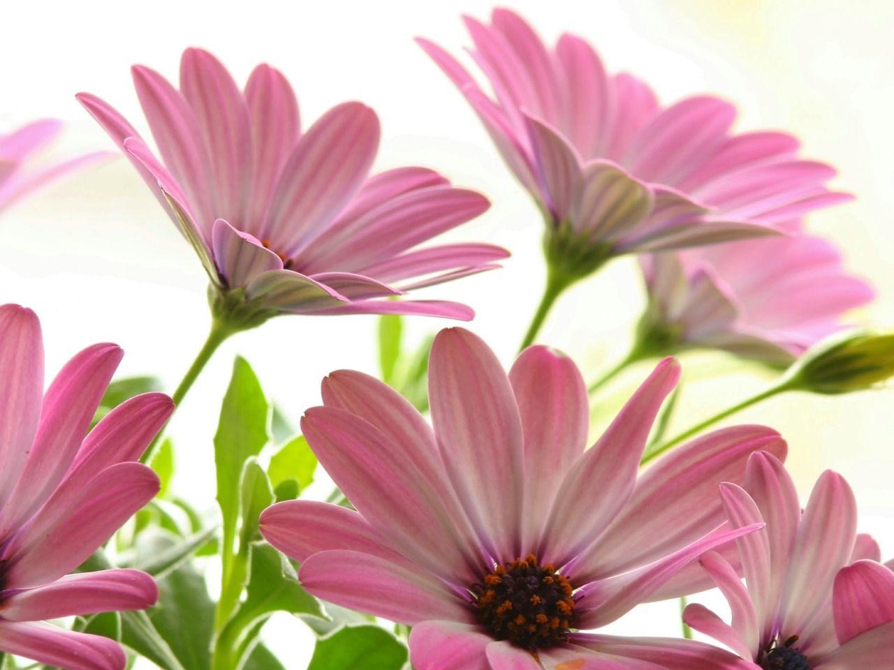 20 خلفية زهور رائعة عالية الدقة مجانا Pink flowers