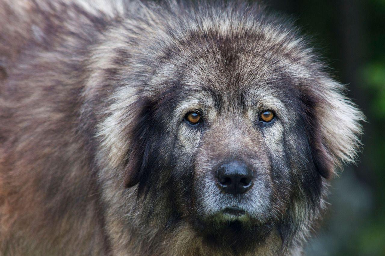 фото собаки породы шарпланинская овчарка
