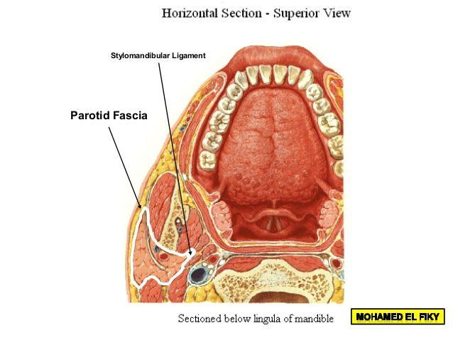 Stylomandibular Ligament Submandibular Gland Parotid Gland Parotid